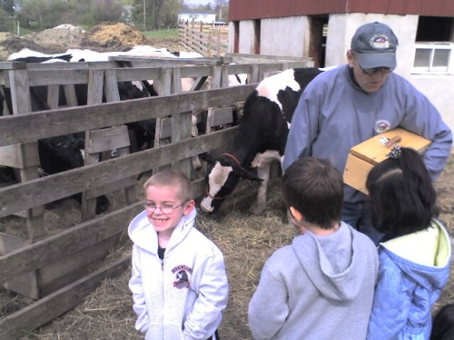 A calf at Wagner farm in Glenview attempts to eat my son's ear.